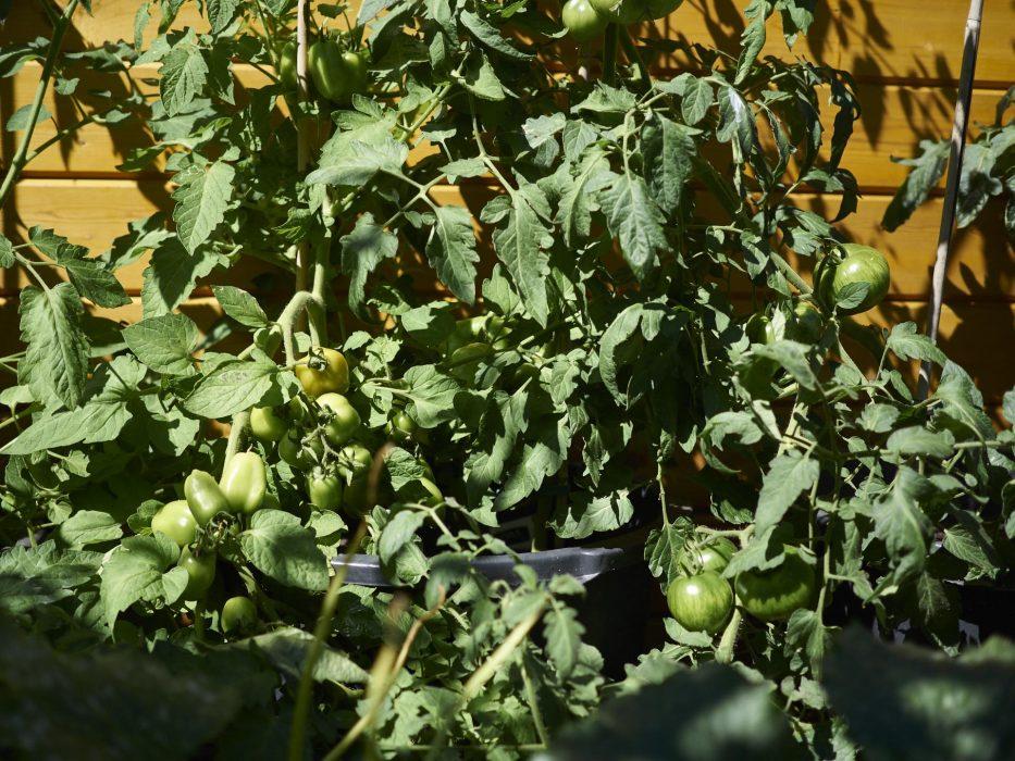 die Blogs sind Voll von riesen Tomaten ernten, bei uns ist alles noch grün