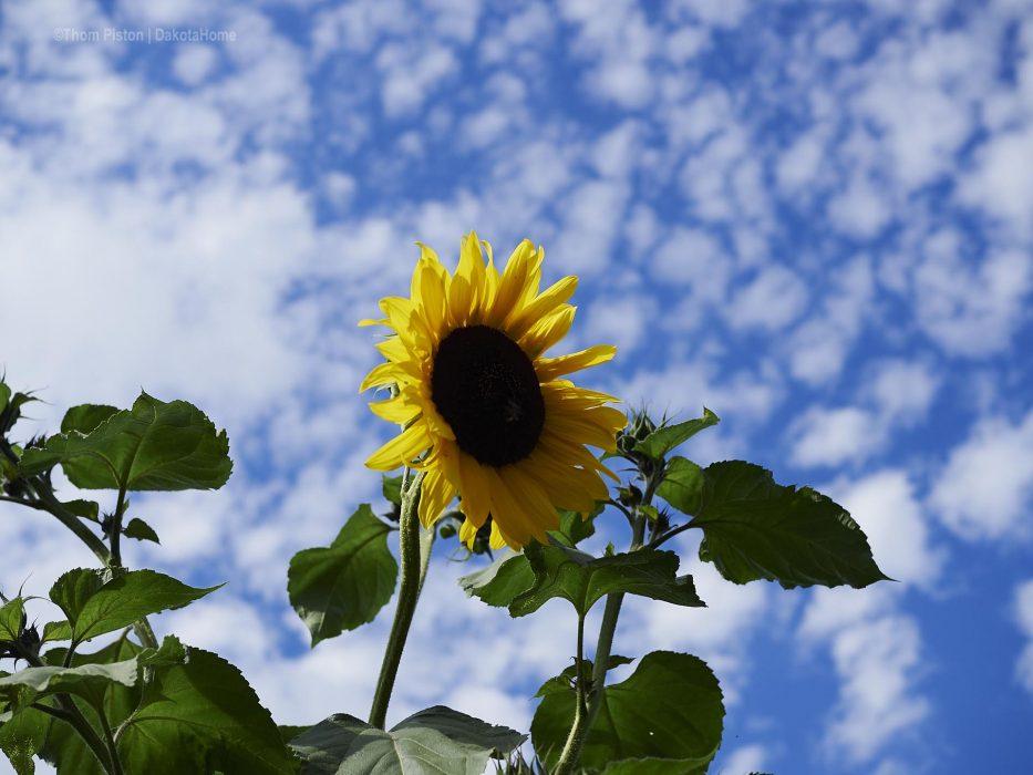 Sonnenblumen in Brandenburg