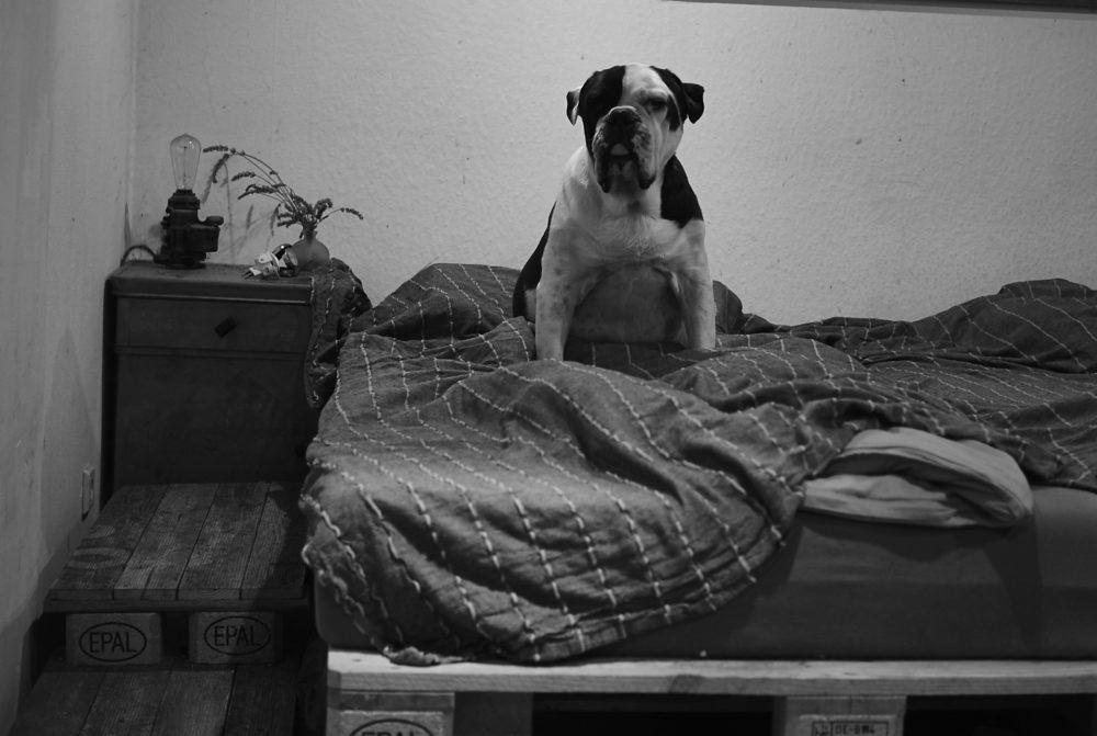 Bulldogge im Bett