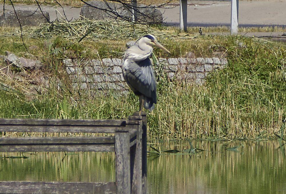 Fischreiher in Brandenburg