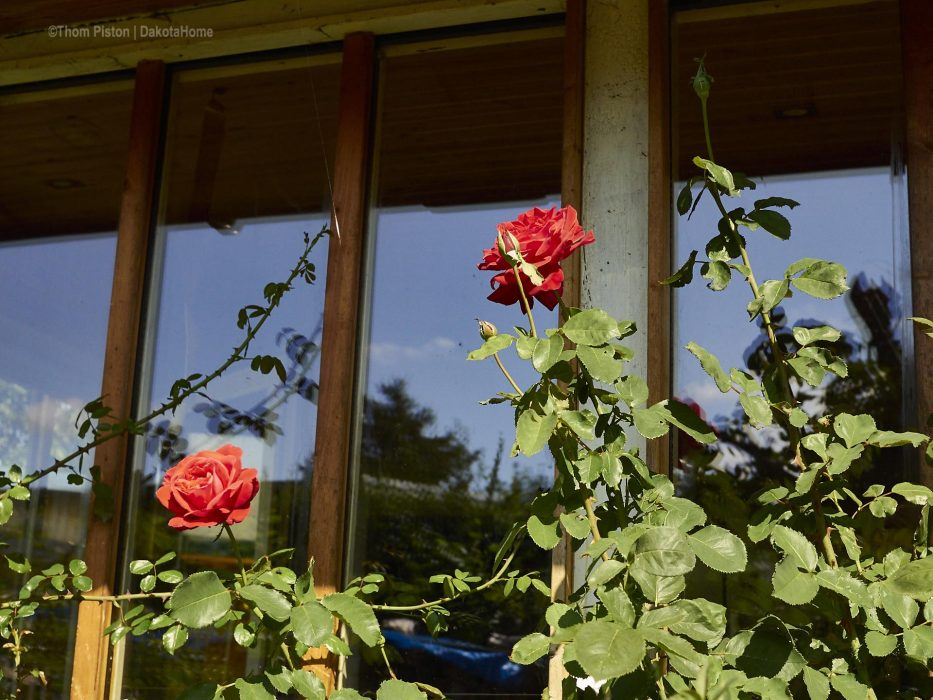 Rote Rosen am Dakota