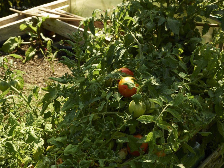Tomaten ernte in Brandenburg
