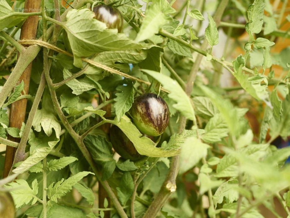 Grüne Tomaten in Brandenburg