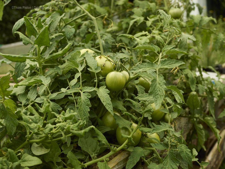 Hochbeet Tomaten