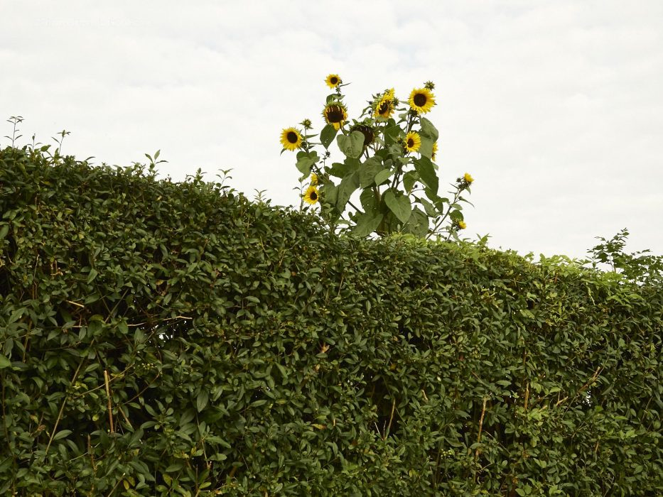 Sonnenblume am Dakota Home