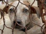 Vietnam's Dog Snatchers