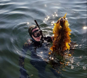 Sugar kelp denmark