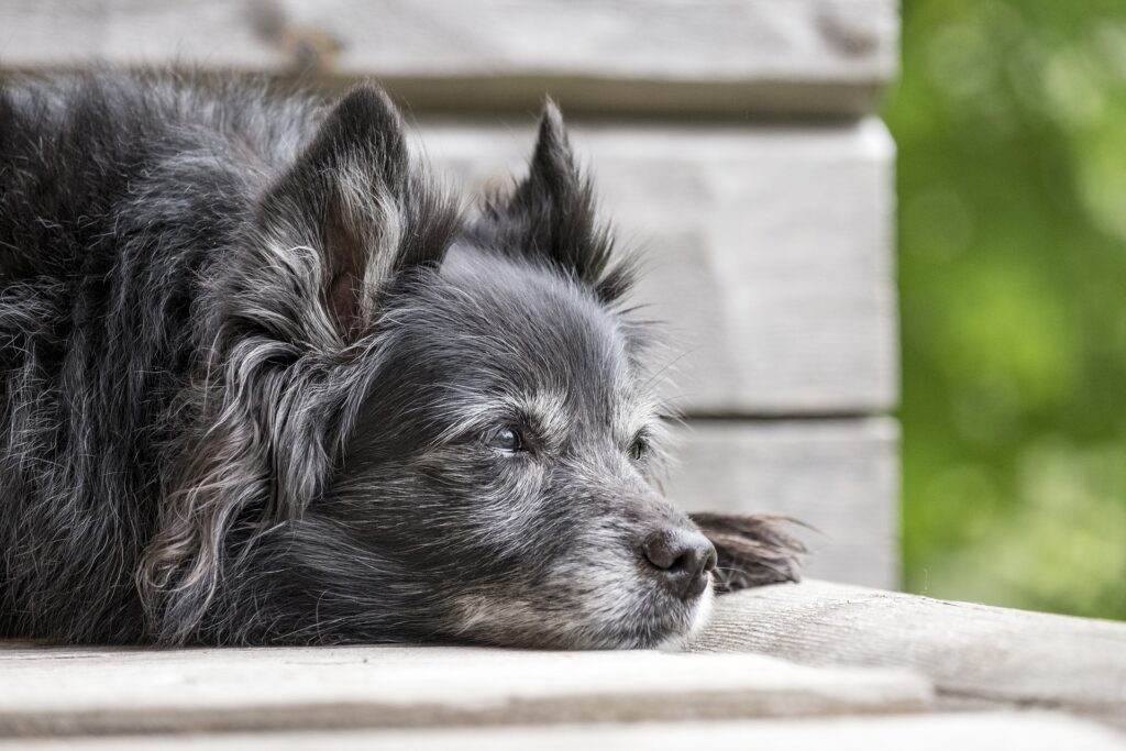 Pet funeral, Old grey dog laying down.