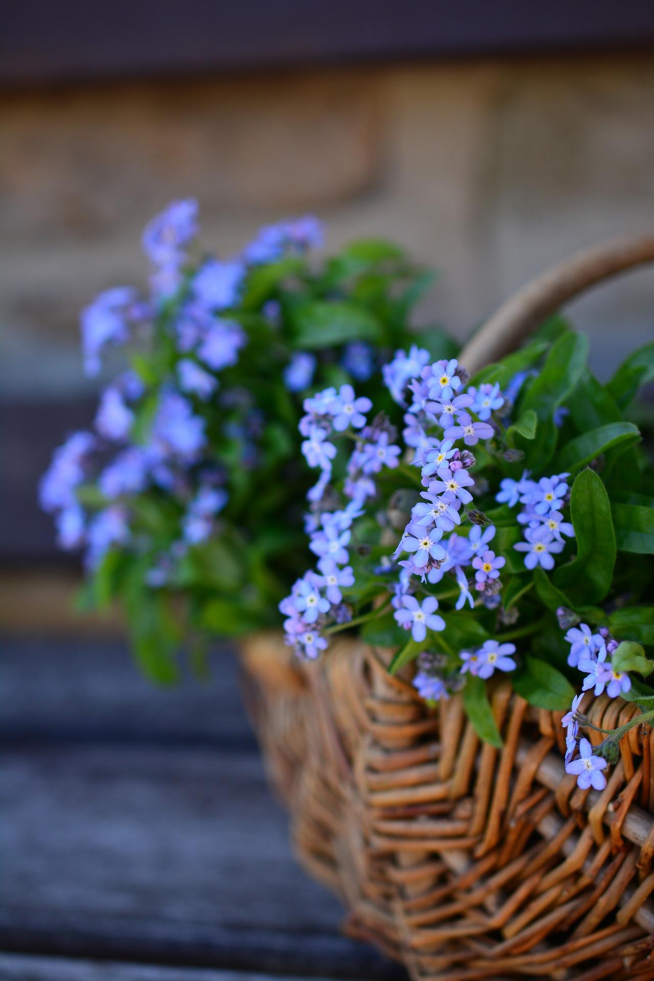 Funeral, forget-me-not blue flowers in wicker basket