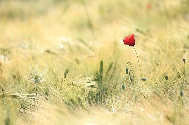 Lone poppy in wheat field, for pricing page