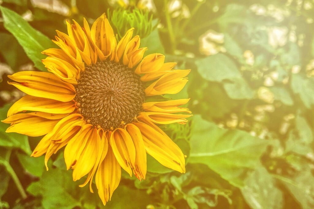 Sunflower in morning sun,, Testimonials from my Celebrancy clients.
