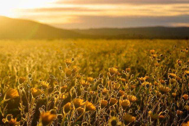 Golden field of flowers in sunset