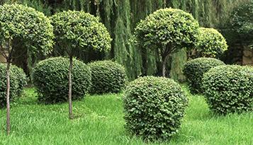 bomen te koop knotwilg