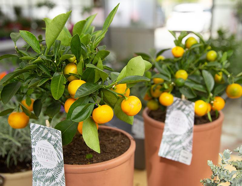 citroenplanten bij de knotwilg