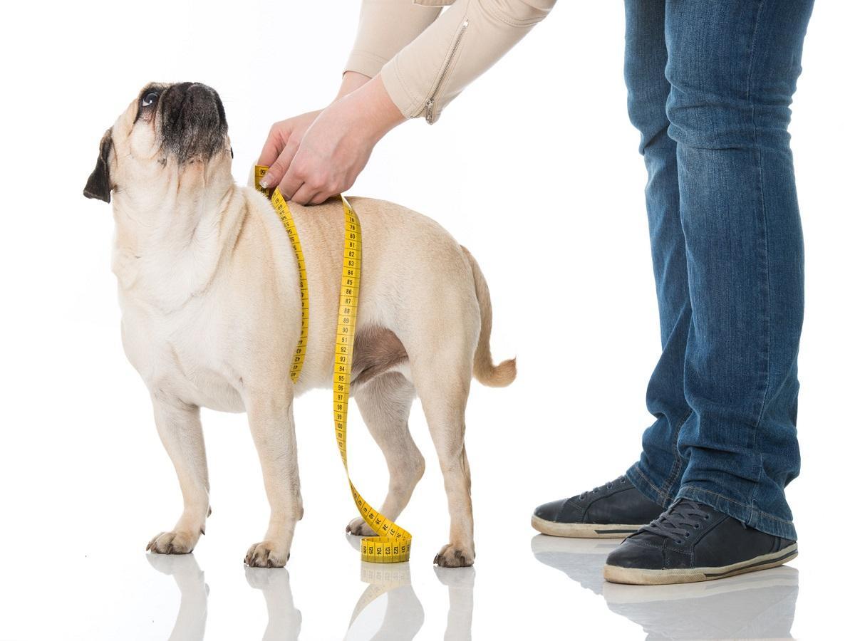 Übergewicht beim Hund. Mops wird gemessen