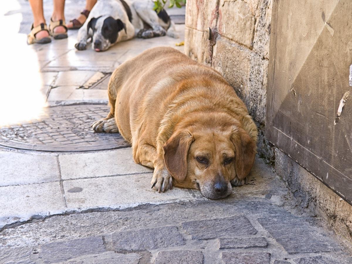 Übergewicht beim Hund. Dicker Hund auf Gehweg