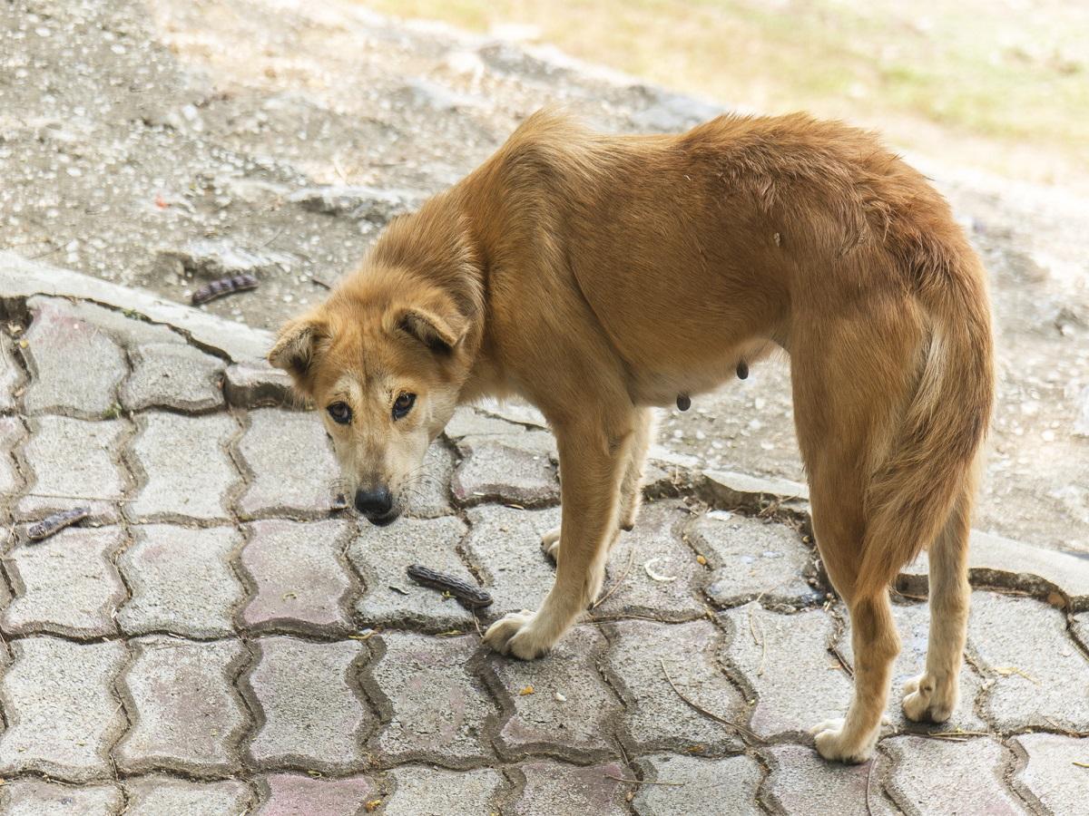 Babesiose beim Hund. Magerer Hund