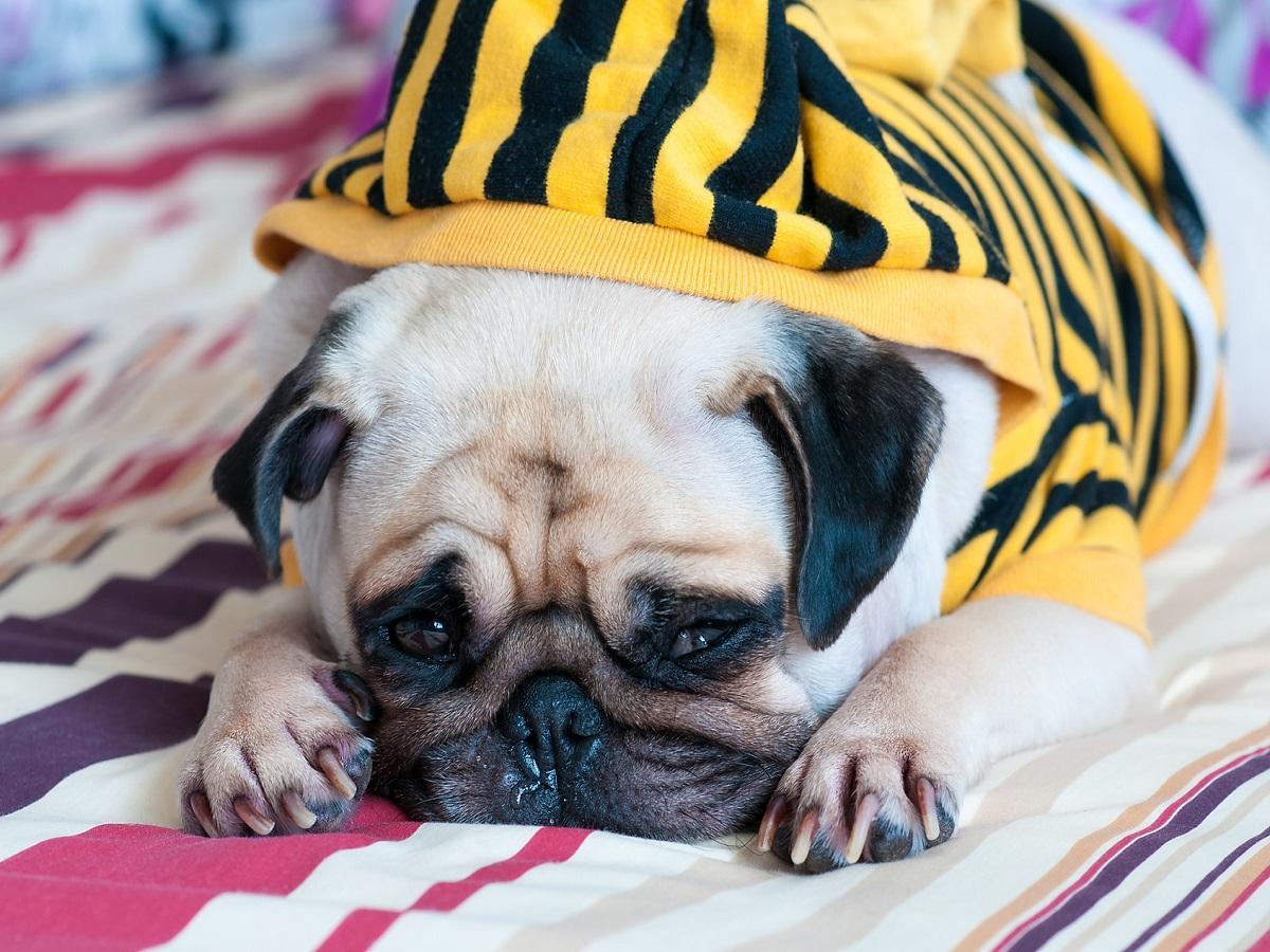 Brachycephalie beim Hund. Kranker trauriger Hund auf Bett