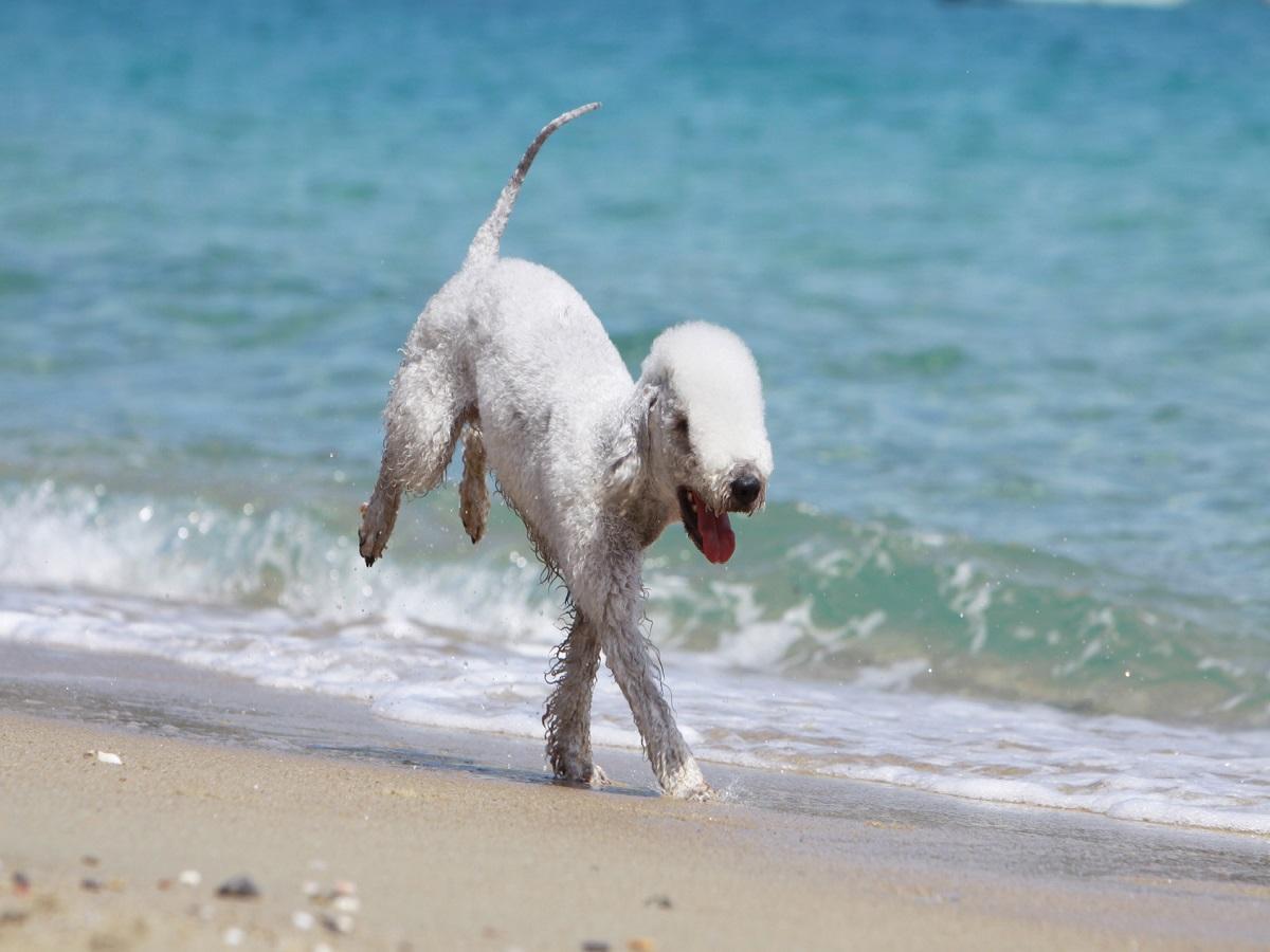 Kupfertoxikose beim Hund. Bedlington Terrier rennt freudig am Strand