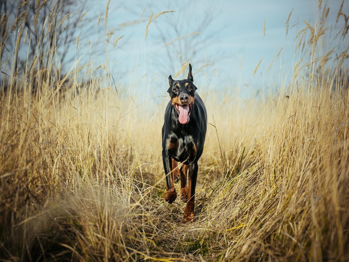 Kupfertoxikose beim Hund. Dobermann rennt durch hohes trockenes Gras