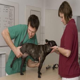 Arthrose beim Hund. Man untersucht Hinterbeine eines Hundes