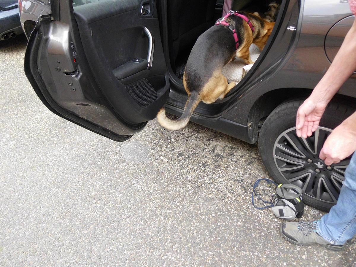 Auto fahren mit Hund. Hündin springt auf die Rückbank eines Autos
