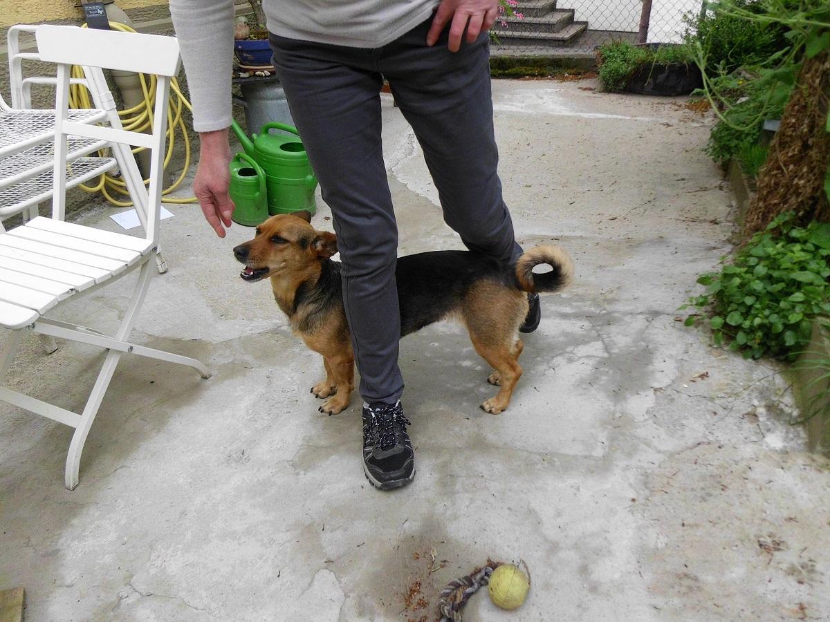 Beinslalom. Hund zwischen den Beinen einer Frau