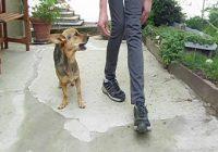 Beinslalom. Frau läuft gebeugt neben einem Hund