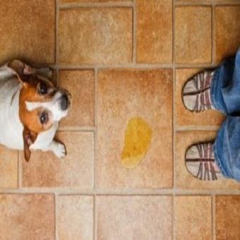 Blasenentzündung beim Hund. Hund hat auf Fliesen gepinkelt