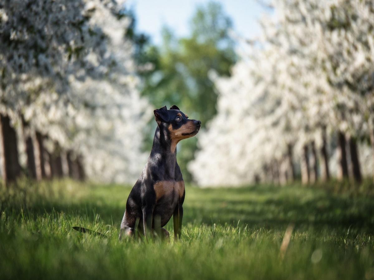 Blutgerinnungsstörung beim Hund. Hund in einer Reihe weißer Kirschbäume mit Gras und Himmel im Hintergrund