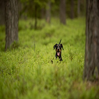 Blutgerinnungsstörung beim Hund. Hund der Rasse Pinscher rennt im Wald durch das hohe Gras