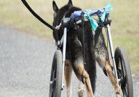 Dackellähme beim Hund. Hund mit Laufhilfe