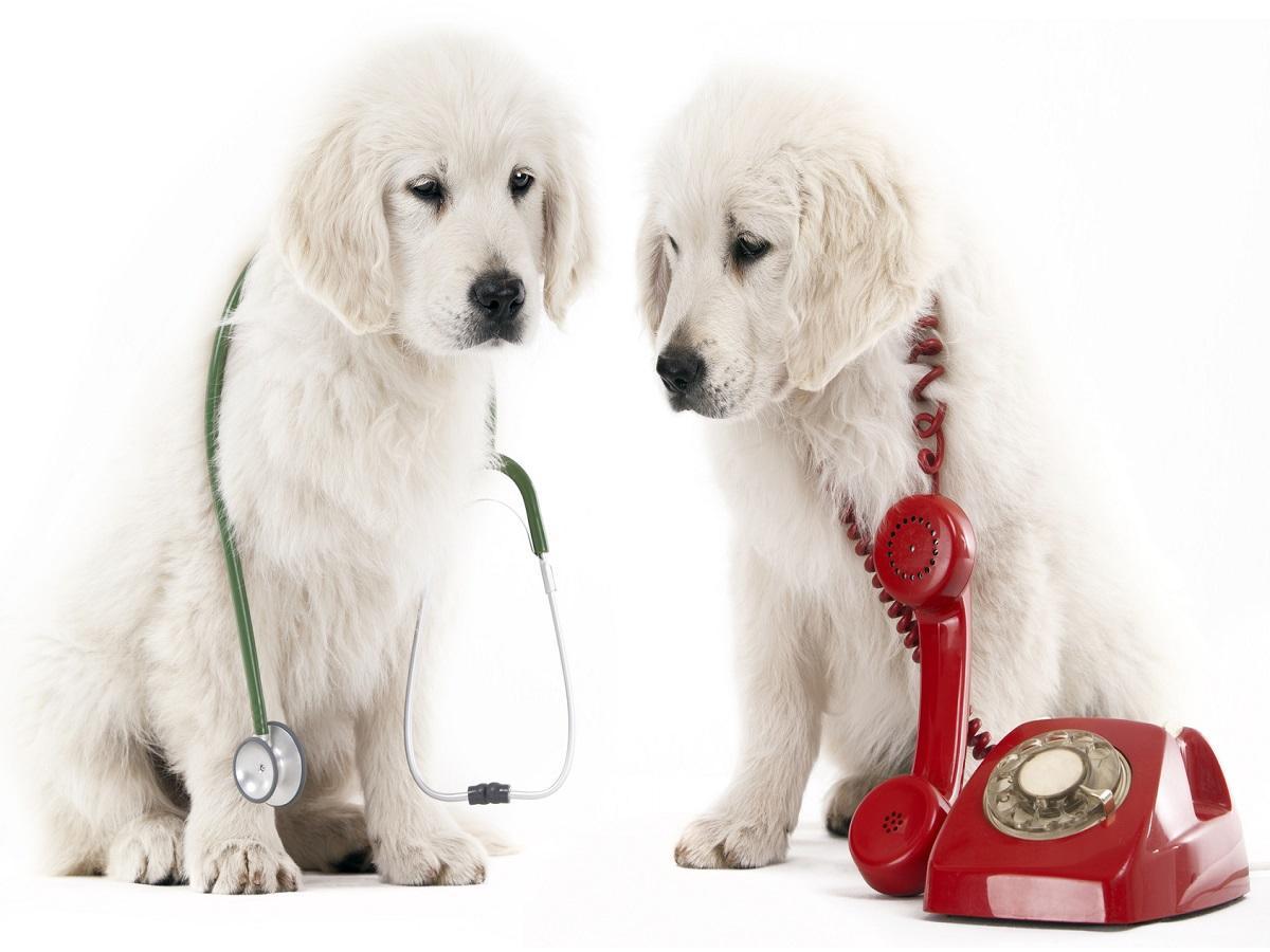Diabetikerwarnhunde. Welpen mit einem roten Telefon und einem Stethoskop