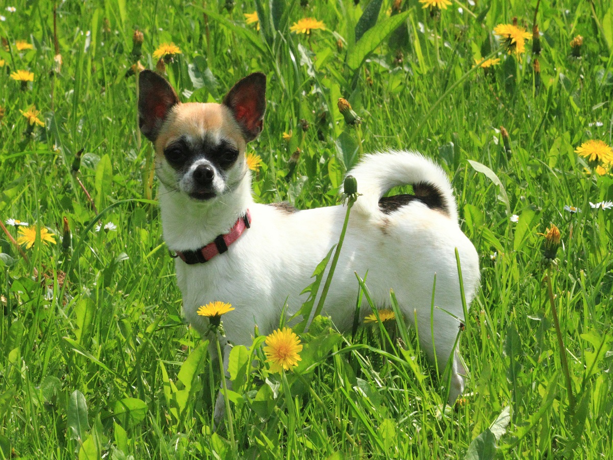 Entzündete Analdrüsen beim Hund. Chihuahua im grünen Gras