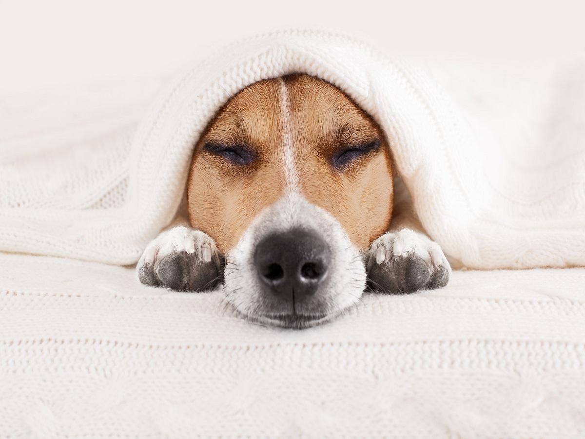 Erkältung beim Hund. Jack Russell Hund schlafend unter der Decke im BettErkältung beim Hund. Jack Russell Hund schlafend unter der Decke im Bett