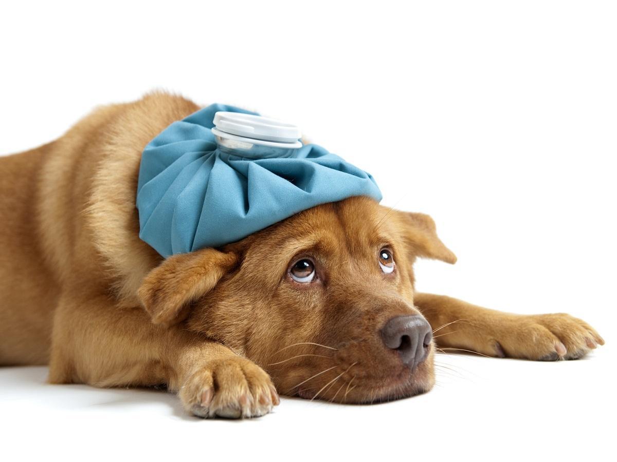 Erkältung beim Hund. Hund mit Wärmflasche auf dem Kopf