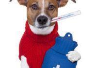 Erkältung beim Hund. Hund mit Wärmflasche und Fieberthermometer