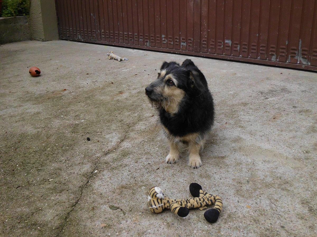 Finde das richtige Hundespielzeug. Hund vor seinem Spielzeug