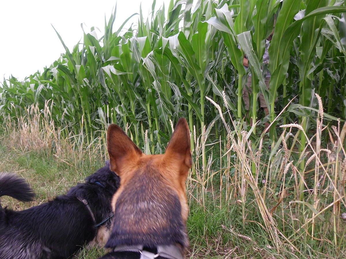 Finde eine bestimmte Person für ein Hundeleckerli. Zwei Hunde vor einem Maisfeld. Person im Mais versteckt