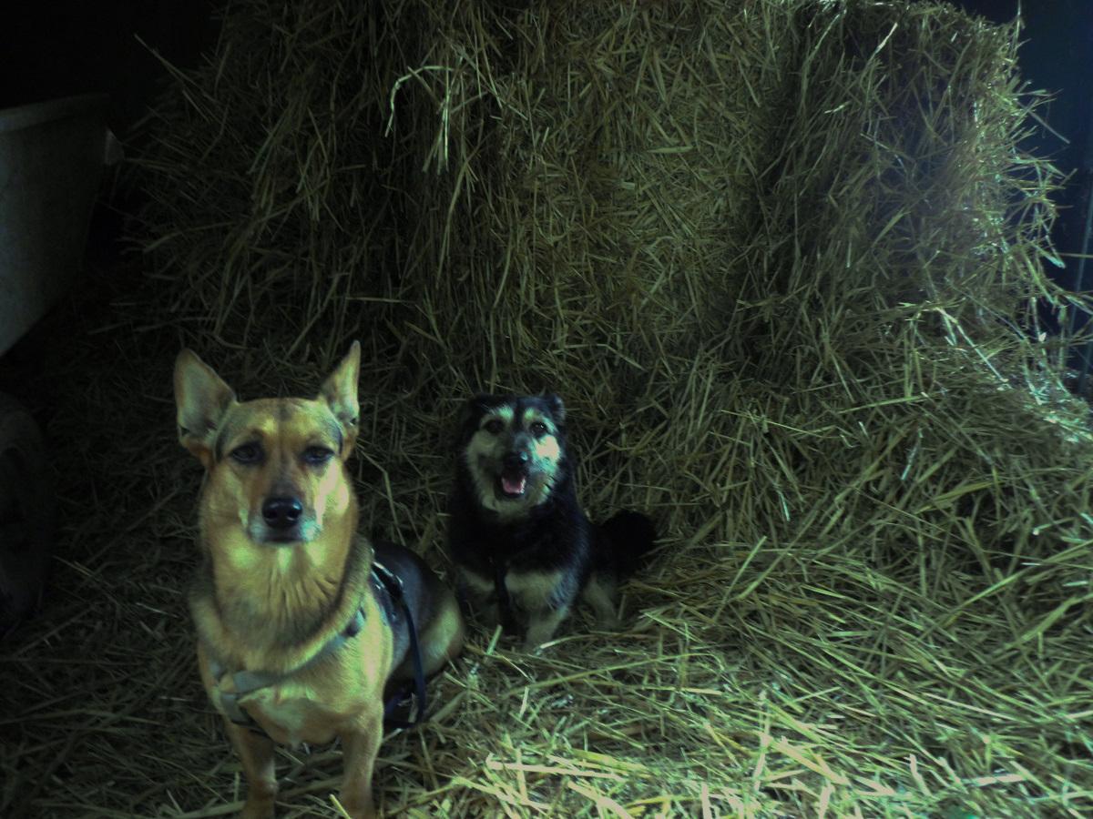 Futtermilben beim Hund. Zwei Hunde im Stroh
