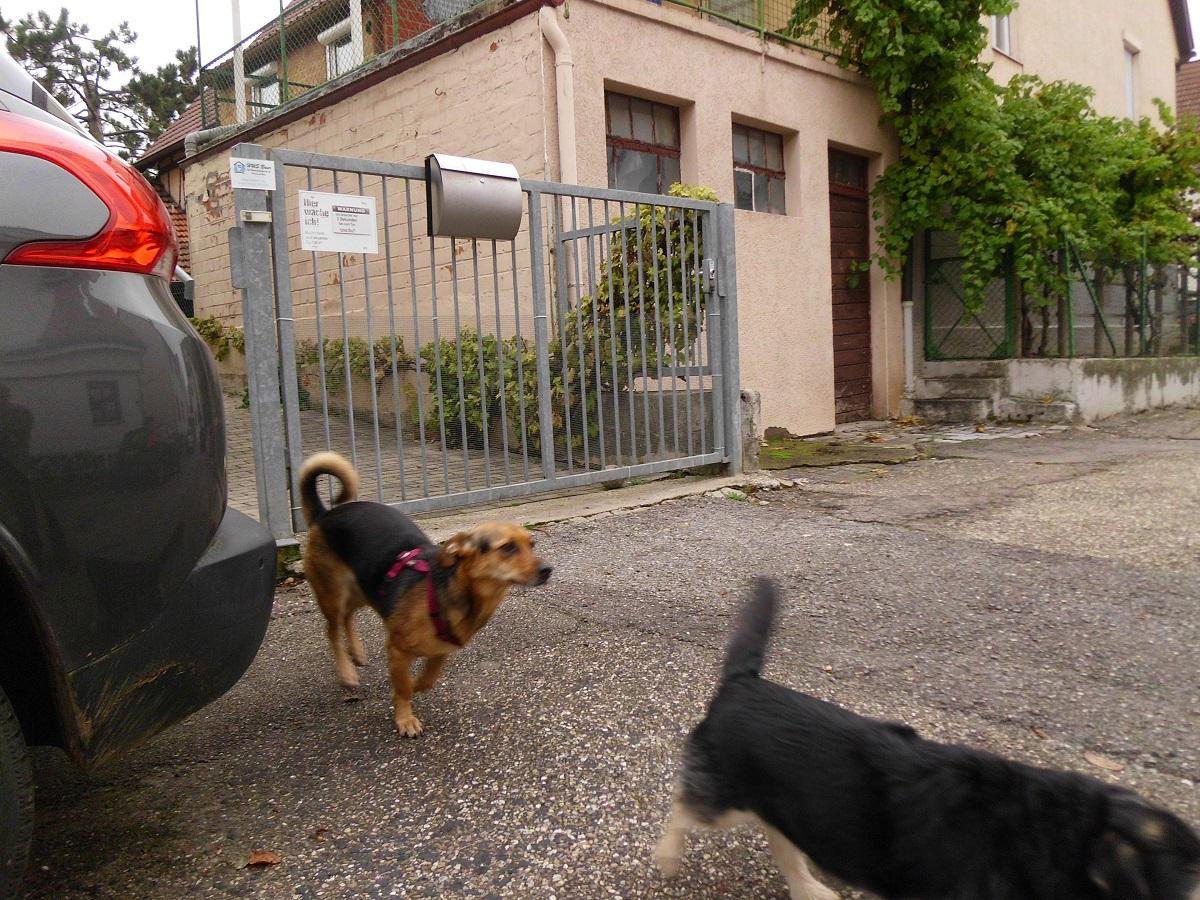 Gefahren beim Spielen mit dem Hund. 2 Hunde rennen auf die Strasse