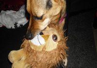 Gefahren beim Spielen mit dem Hund. Hündin spielt mit Kuscheltier für Kinder