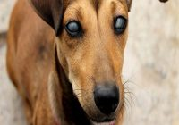 Grauer Star beim Hund. Hund mit schwarzen Augen