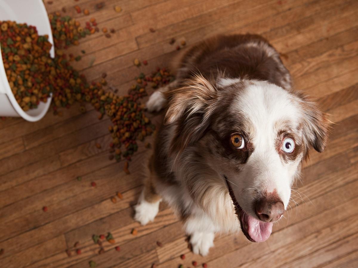 Grauer Star beim Hund. Hund mit weißem Auge hat Futter umgeschmissen