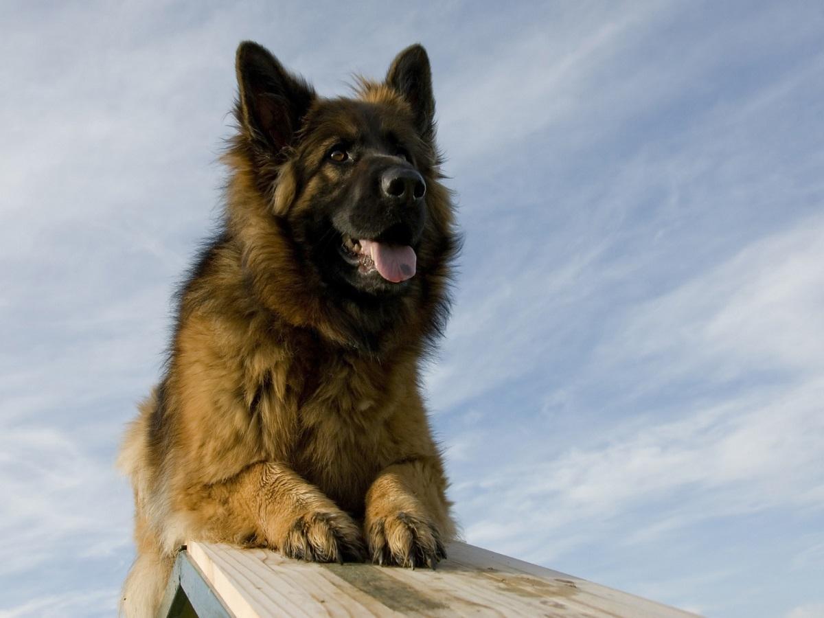Grauer Star beim Hund. Hund auf Hindernis