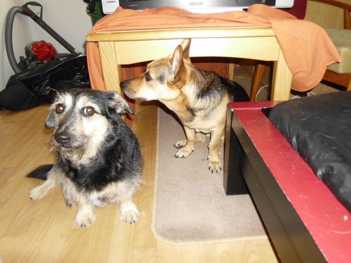 Hundehöhle bauen. Zwei Hunde vor ihrer Höhle unter einem Tisch