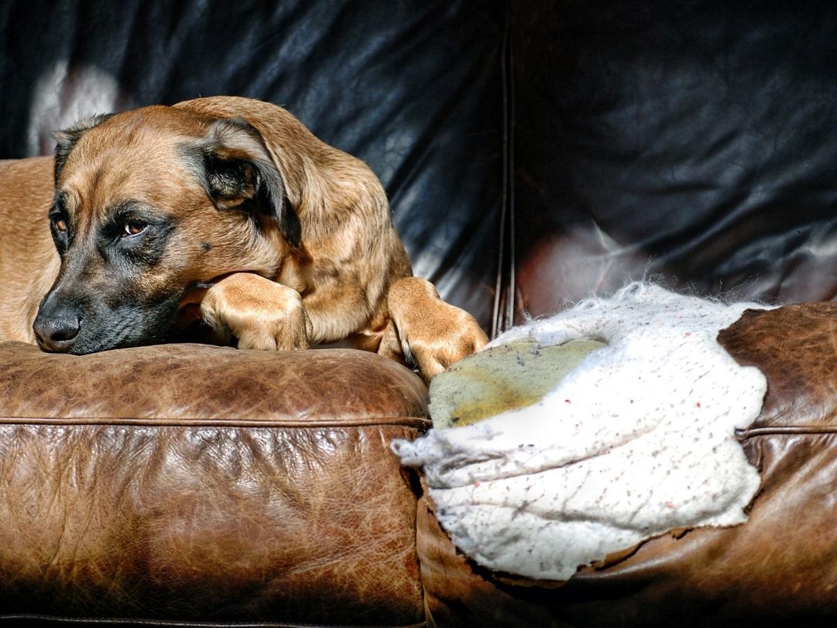 Haftpflichtversicherung für Hund. Schuldiger Hund auf einem von ihm zernagtem Sofa