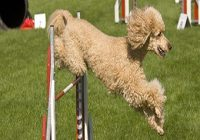 Hindernislauf mit Hund. Hund springt über Stab Hindernis