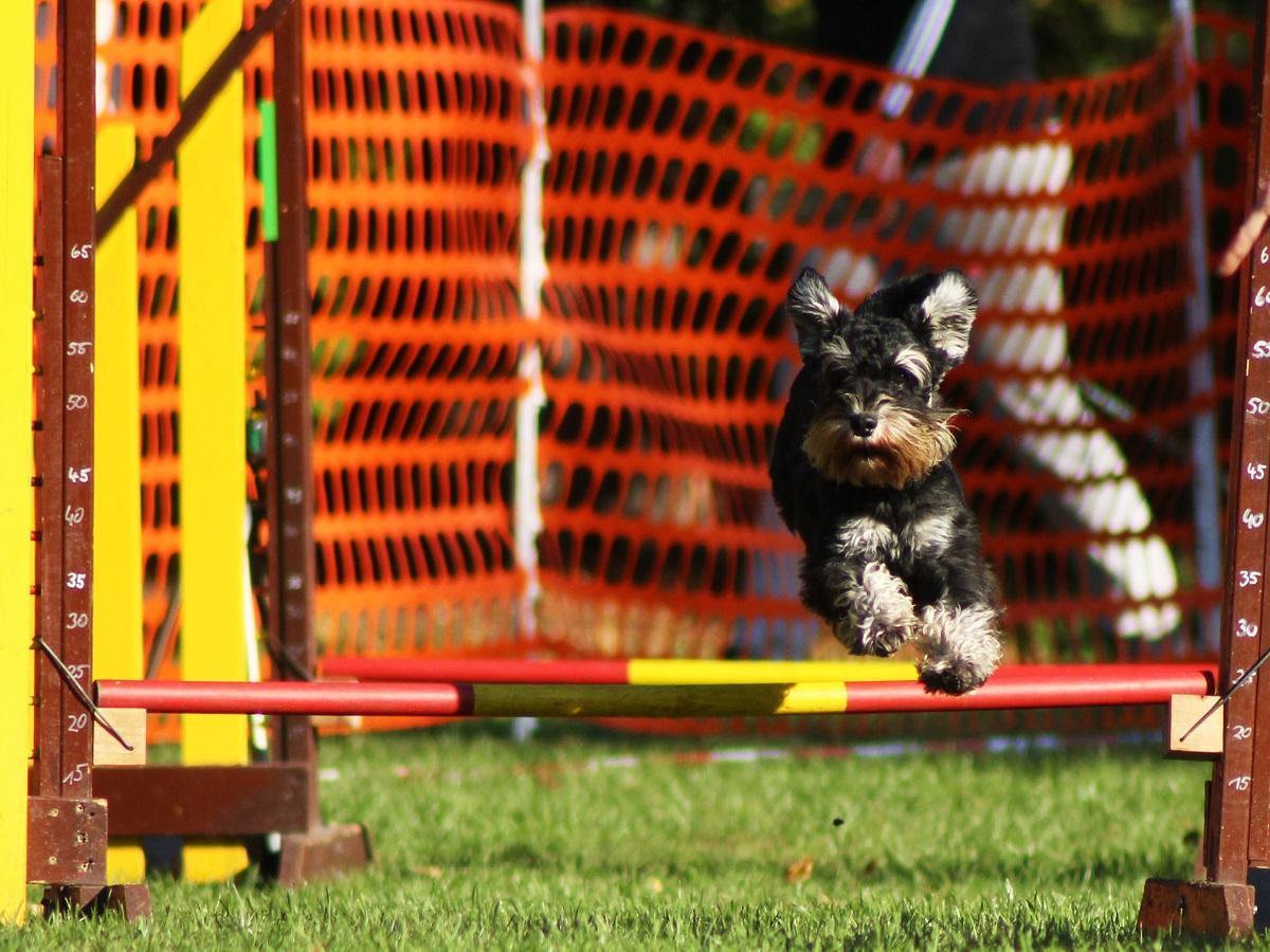Hindernislauf mit Hund. Hund springt über Hindernis