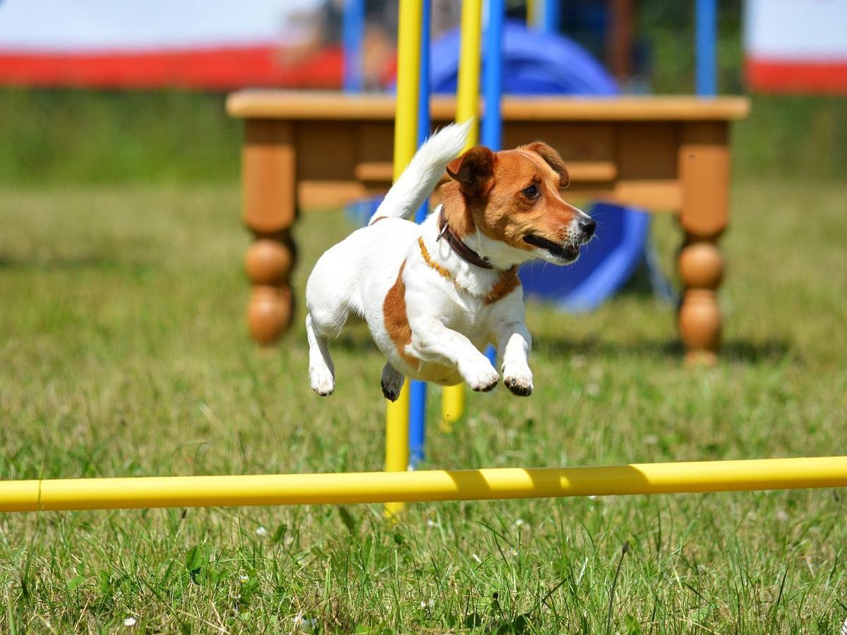Hindernislauf mit Hund. Hund springt über Stange kleiner Jack Russell Terrier macht Agility auf dem Platz
